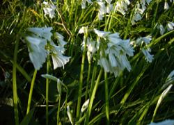 Three Cornered Garlic - Transience -