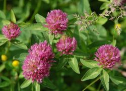 Red Clover - Forgiveness -