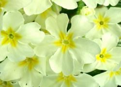 Primrose in Snow - Restorative -