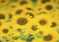 Sunflower - Self Belief -