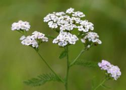 Yarrow - Good Boundaries -