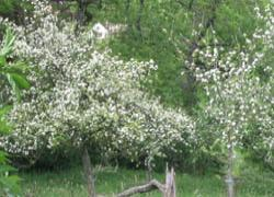 Apple Blossom - Rejuvenation -