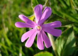 Red Campion - Generosity -